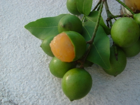 Fruit of the Quenepa Tree