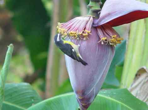 A Bananaquit feeding on a banana flower